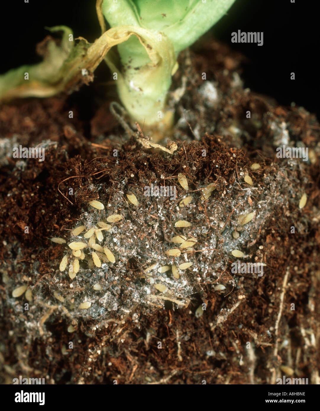 Lettuce root aphid Pemphigus bursarius colony on lettuce roots - Stock Image