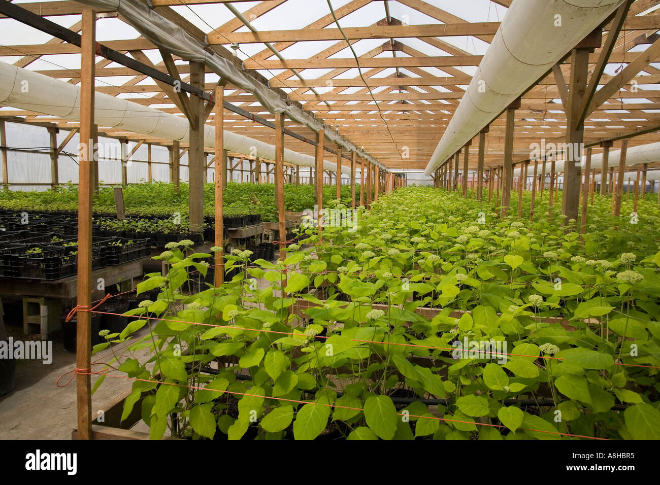 Hydrangea plants growing in controlled environment of commercial greehouse Skagit Valley Mount Vernon Washington - Stock Image
