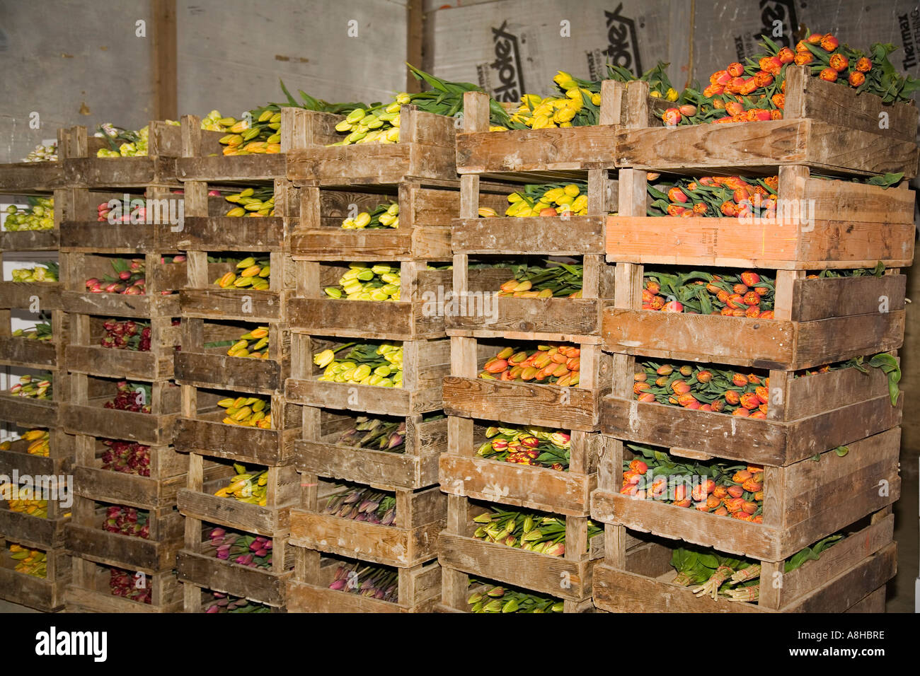 Fresh Tulips Lay In Cold Storage Warehouse Of Commercial Flower Farm In The  Skagit Valley Of Mount Vernon Washington