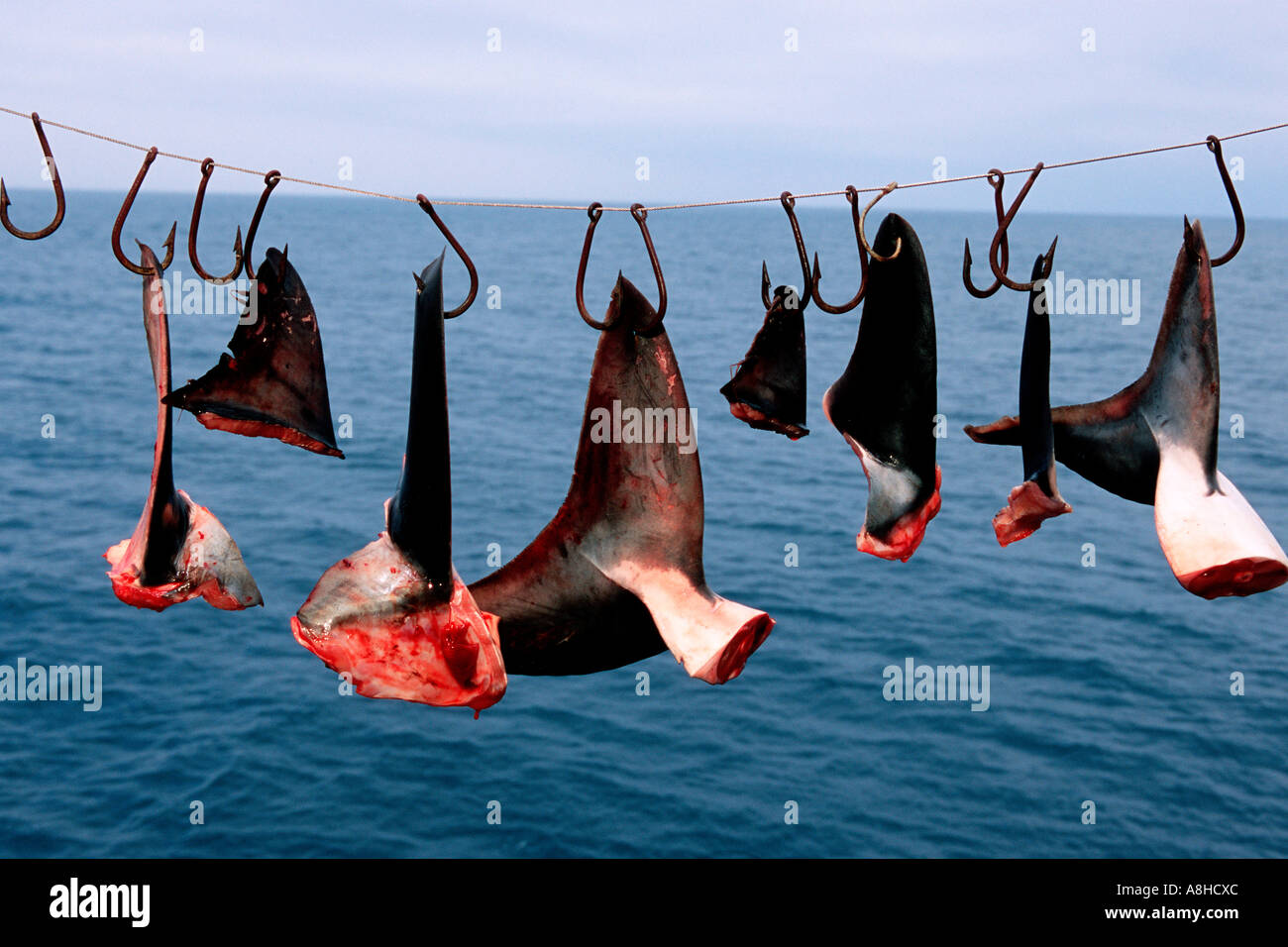 Shark finning is one of the world s most destructive fisheries Sharks are killed needlessly and their fins are collected for shark fin soup Baja California Mexico - Stock Image
