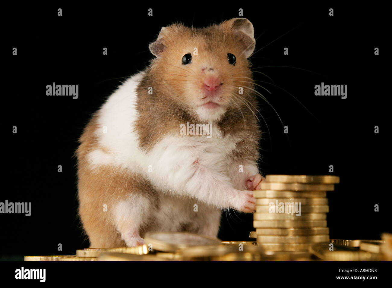 Golden hamster with euros - Stock Image