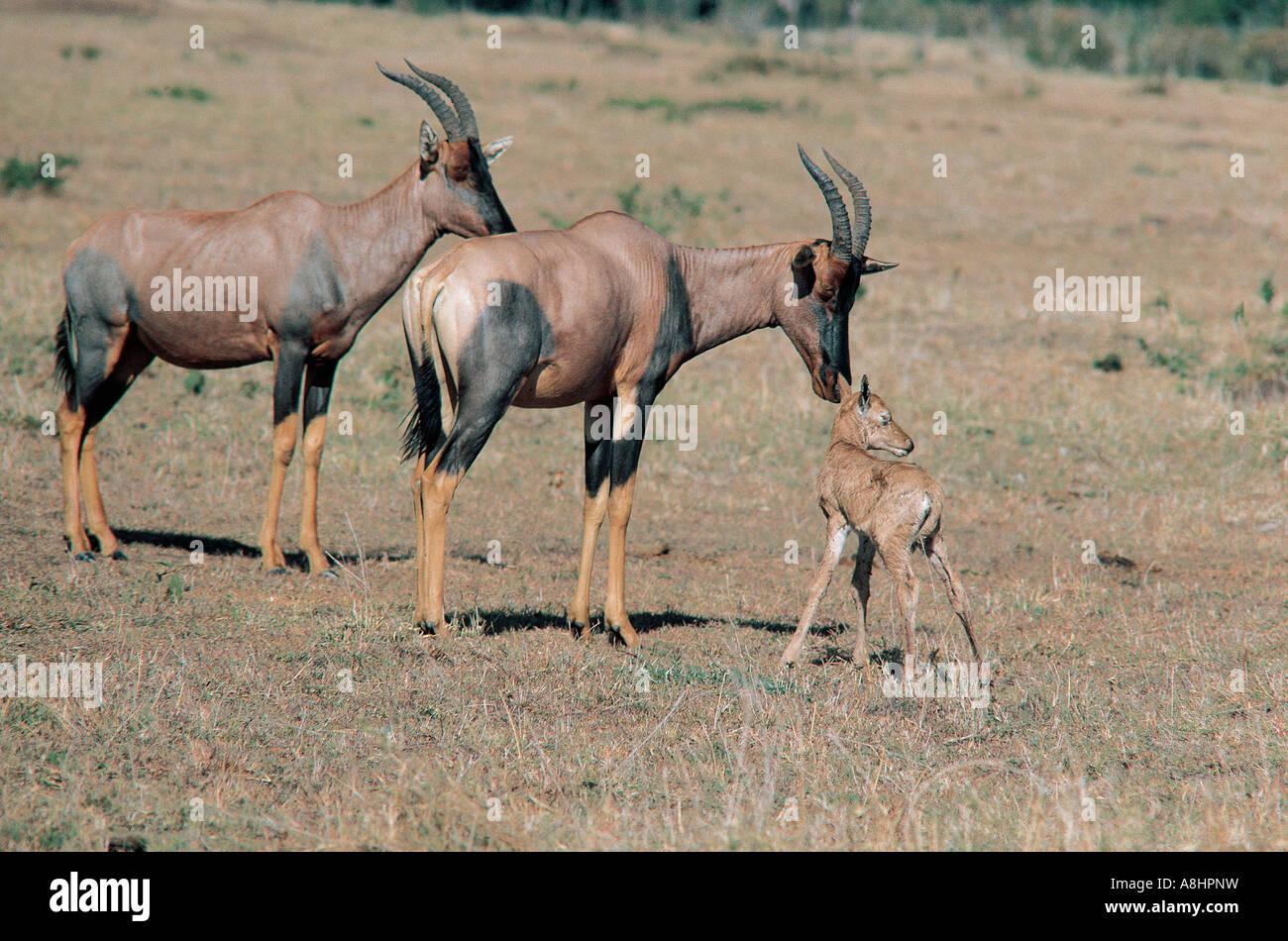 Female Topi inspecting and touching her newborn baby Masai Mara Kenya - Stock Image