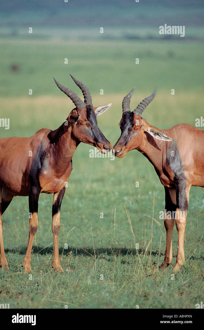 Two Topi greeting each other by touching noses Masai Mara National Reserve Kenya - Stock Image