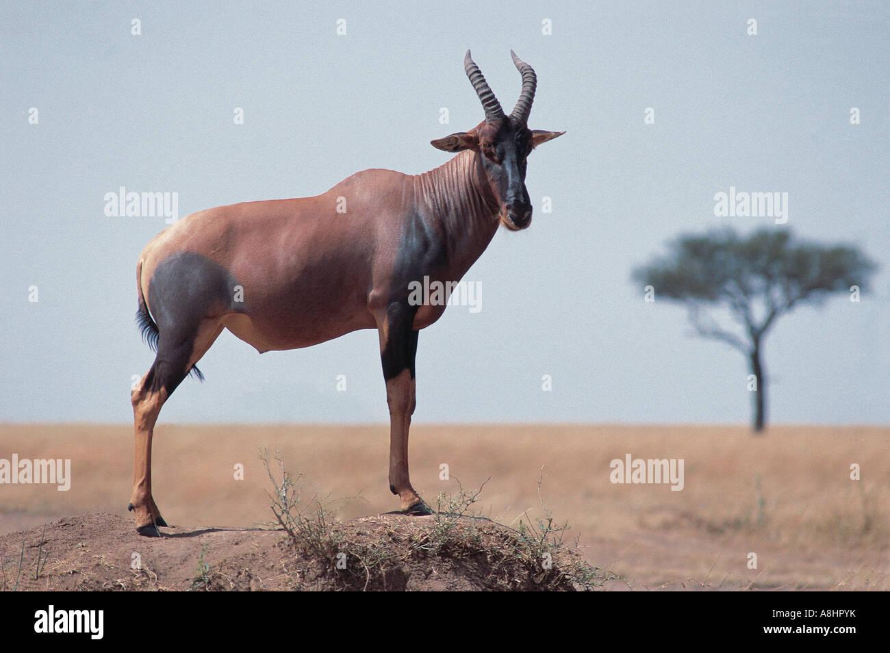 Male Topi on termite mound Masai Mara National Reserve Kenya - Stock Image