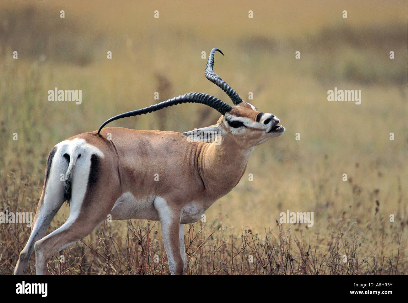 Male Grant s Gazelle scratching back with horn Serengeti National ...
