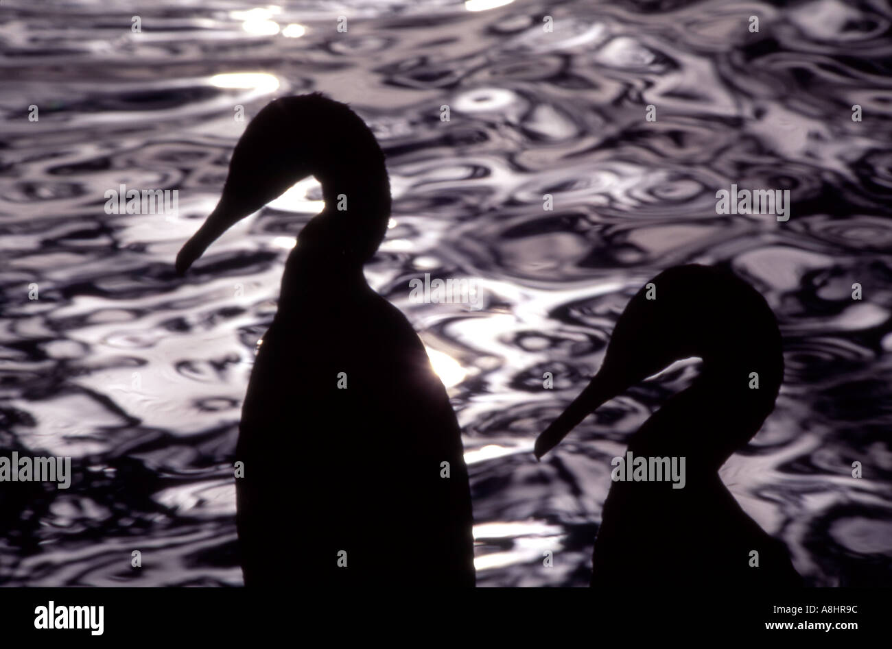 Socotra cormorant Phalacrocorax nigrogularis in silhouette Saudi Arabia - Stock Image