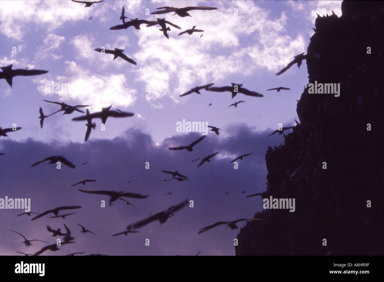 Abstract detail flock of cliff nesting birds in flight in silhouette at twilight - Stock Image