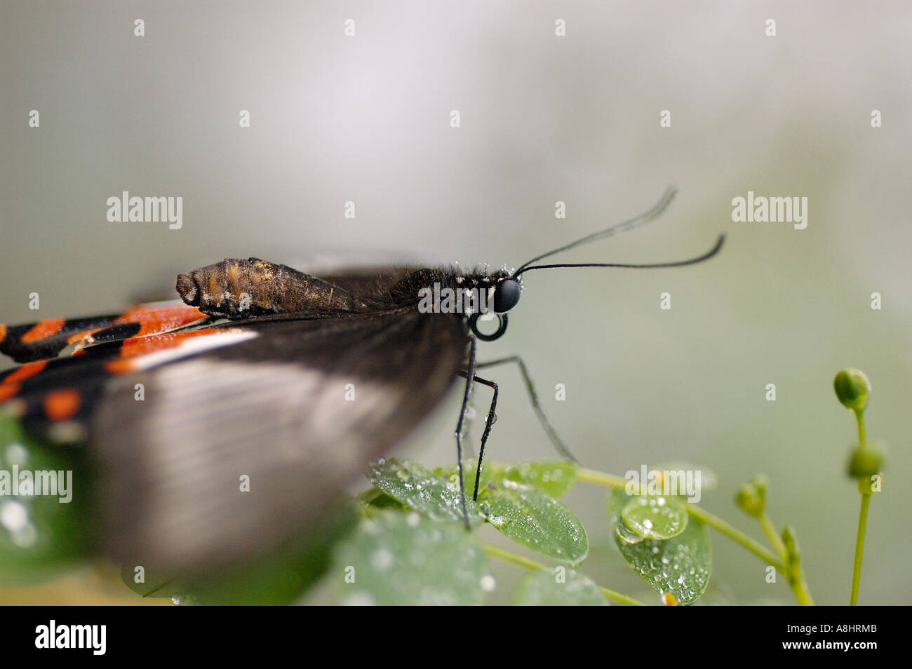 Swallowtail with fluttering wings, Swallowtail family, Papilio rumanzovia, Papilionidae - Stock Image
