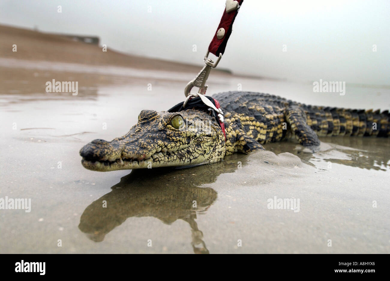 a baby crocodile called aswas taking a dip in the sea at brighton