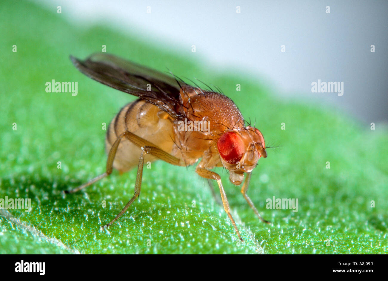 Drosophila Fruit Fly Insect Stock Photos & Drosophila Fruit Fly ...