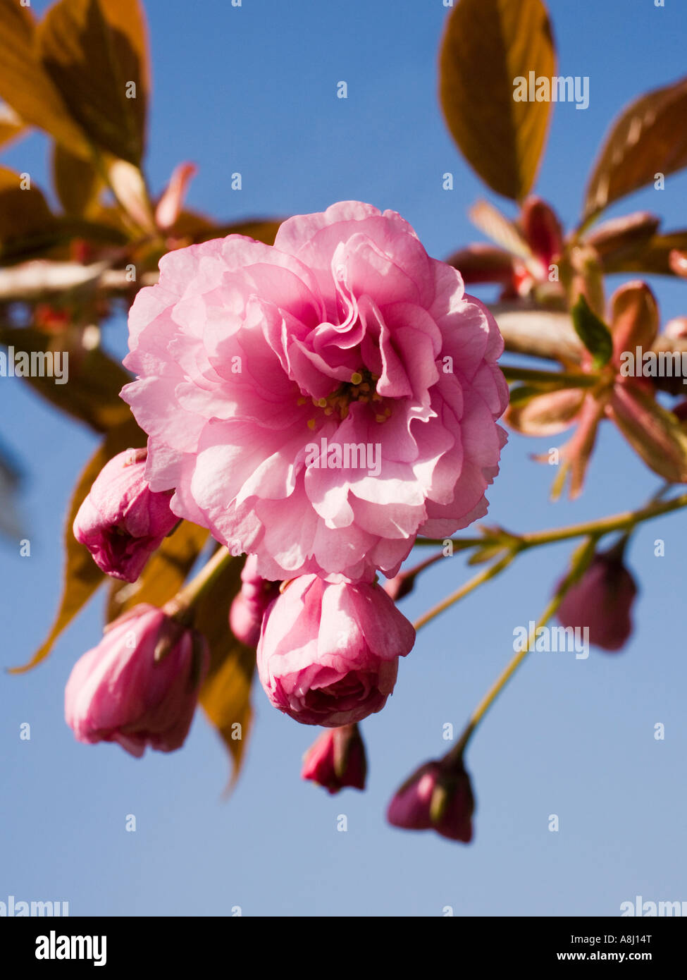 Close up of beautiful pink cherry tree buds and flowering blossom in the spring season, UK - Stock Image