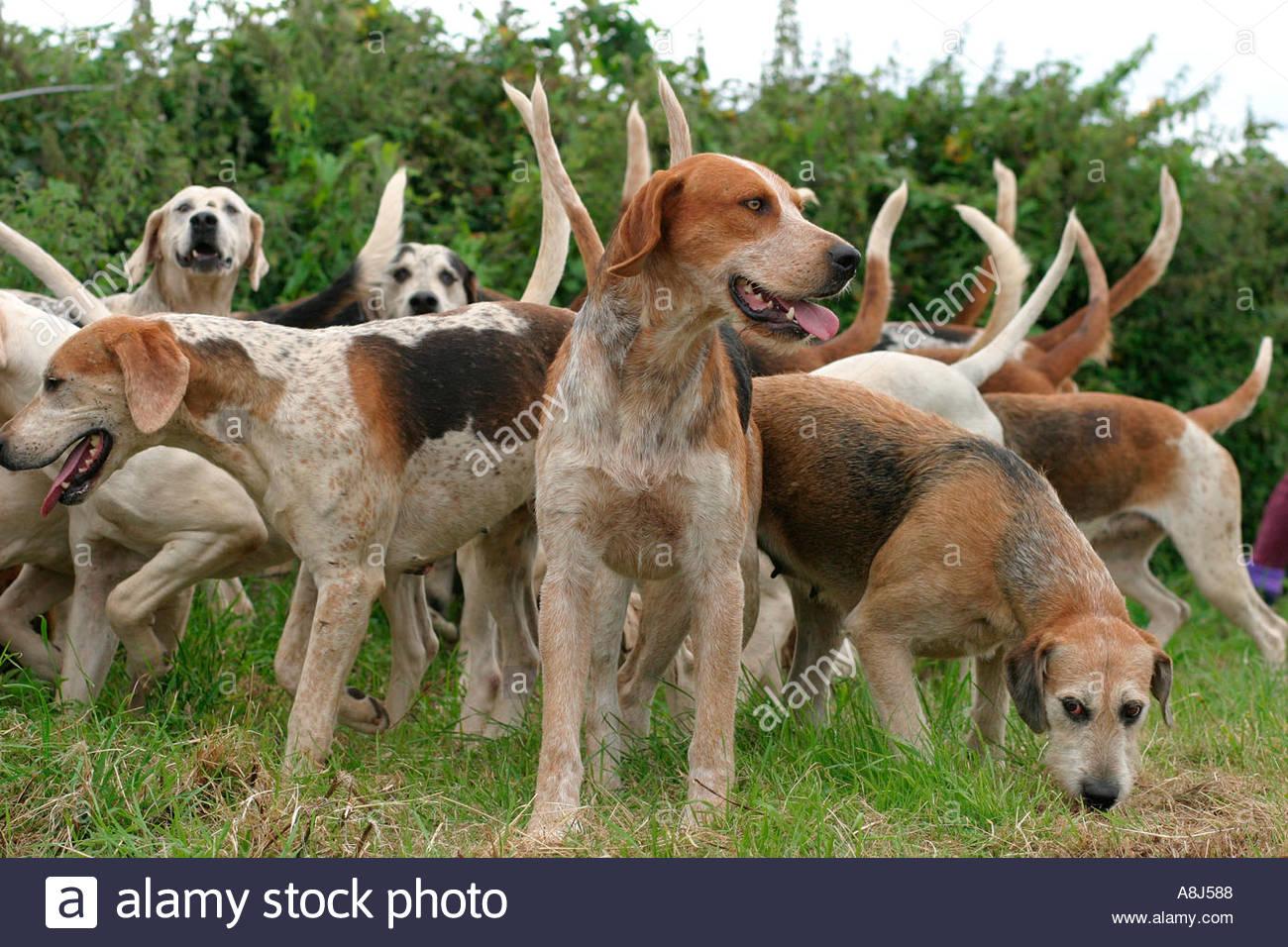Pack of fox hunting hounds Dorset UK - Stock Image