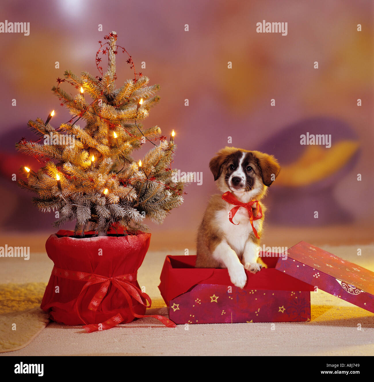 Until Christmas 10 Weeks Till Christmas.Half Breed Dog Puppy 10 Weeks In Box Next To Christmas Tree