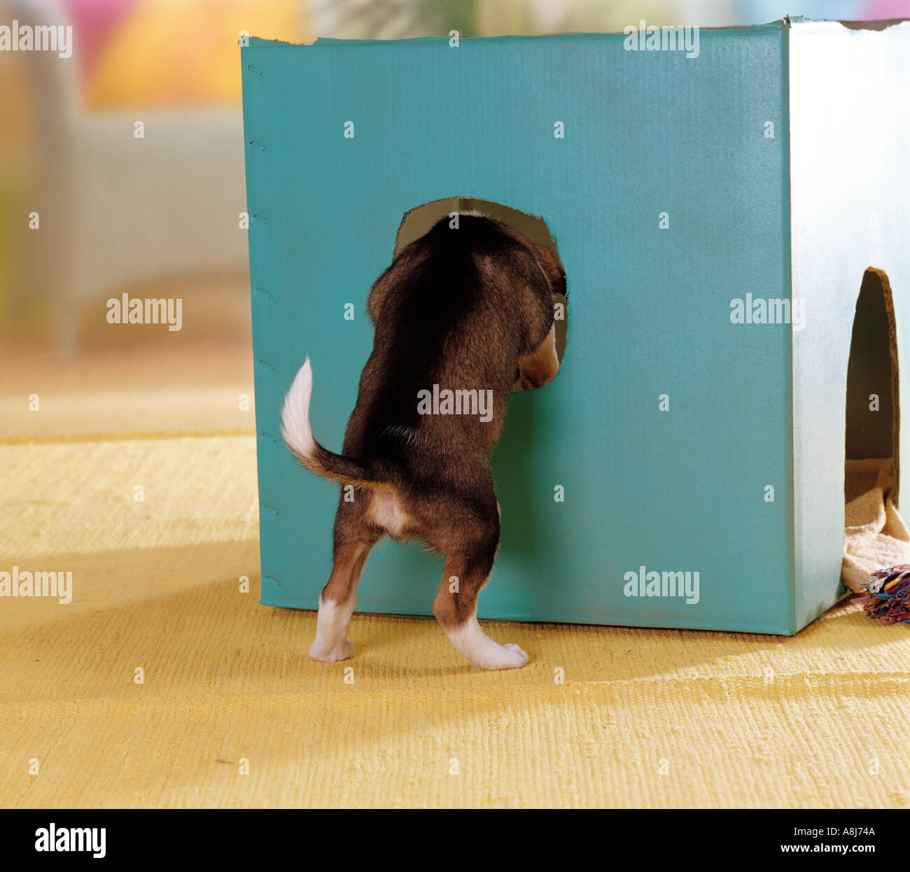 half breed dog puppy  7 1/2 weeks  looking into a box - Stock Image