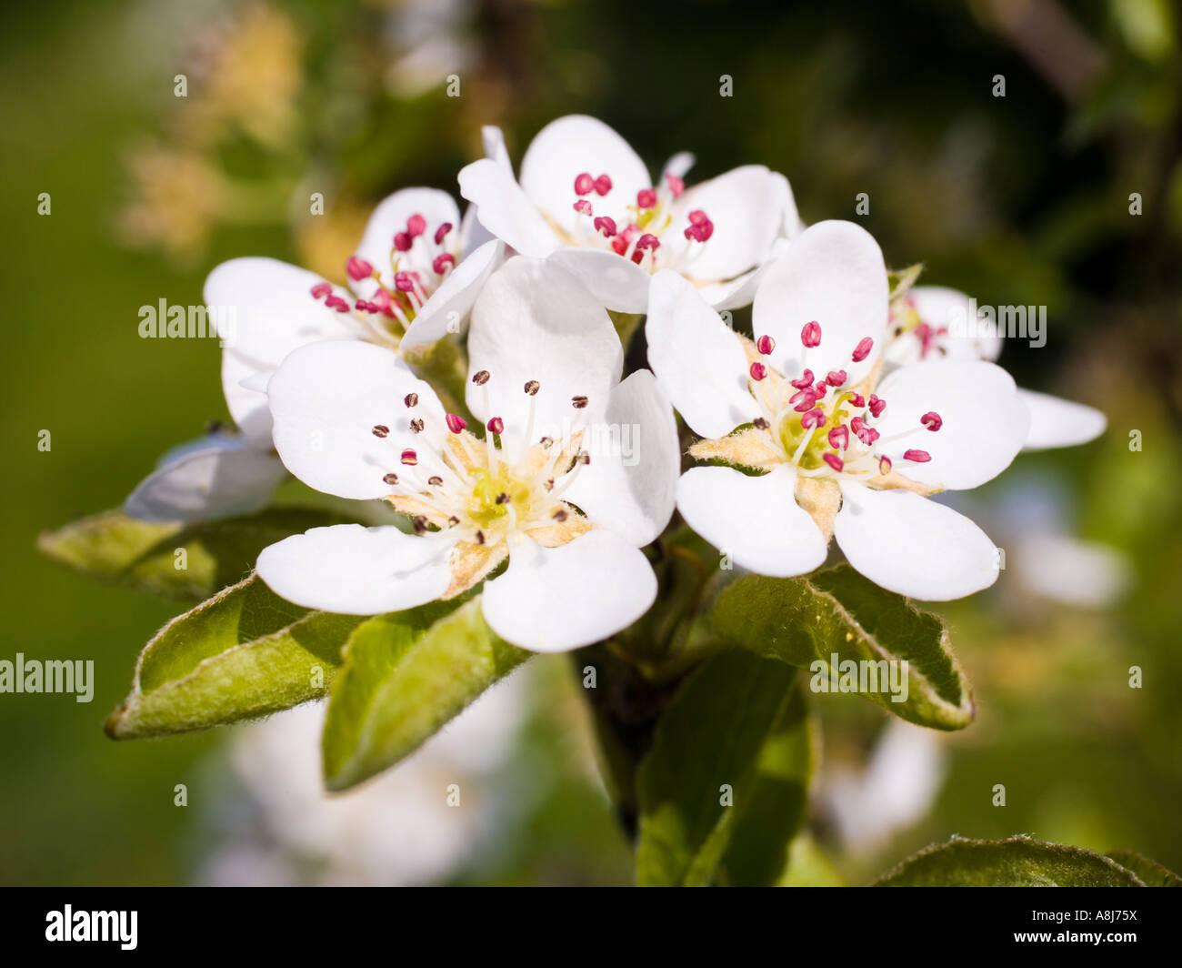 Wild cherry tree prunus avium blossom spring UK - Stock Image