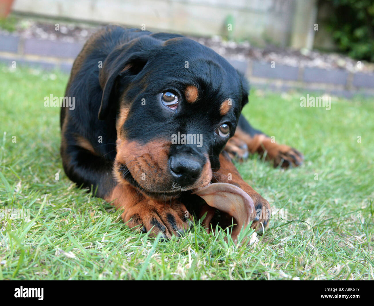 A young rottweiler chewing a dogs ear. - Stock Image