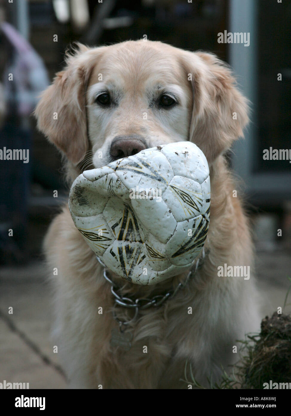 A golden retriever with a punctured football. - Stock Image