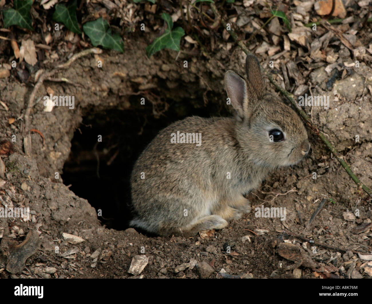 a young wild rabbit in front of its burrow stock photo 12123067 alamy
