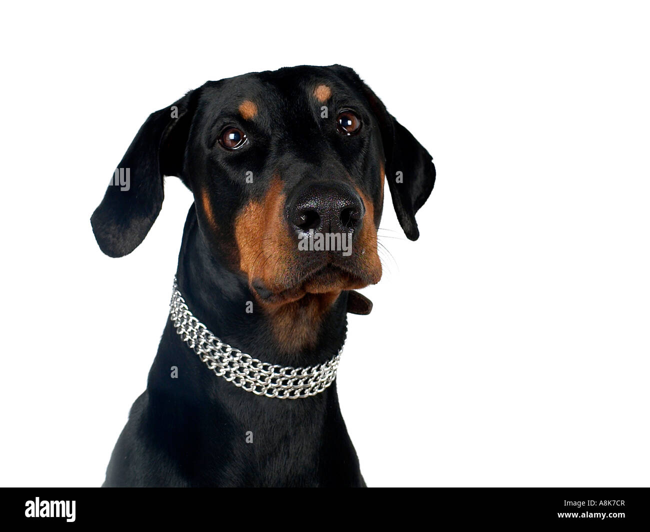 A sad looking doberman. - Stock Image