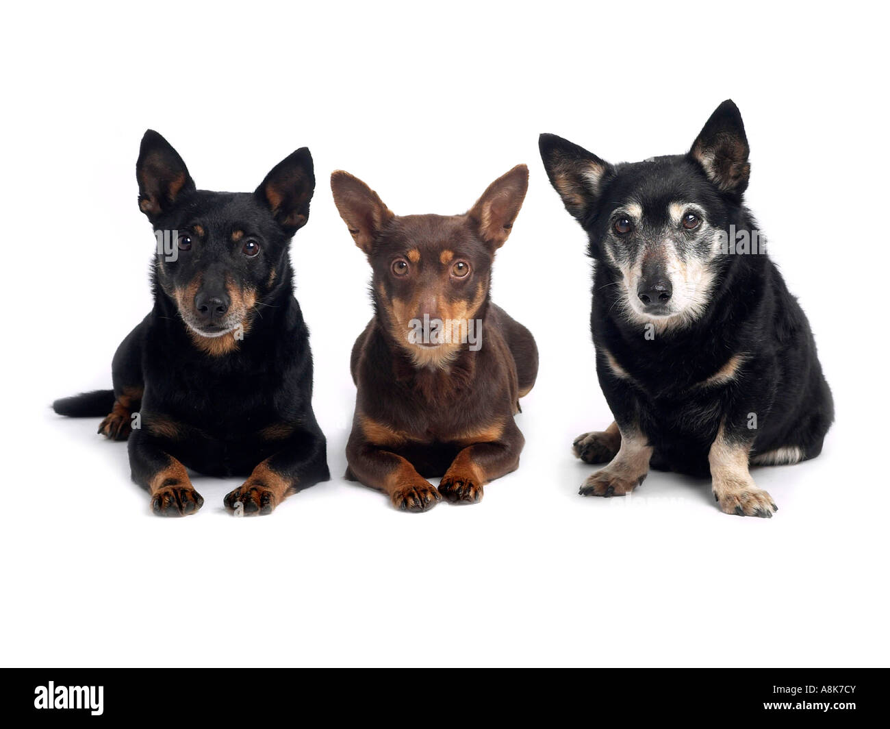 A family of lancashire heelers. - Stock Image