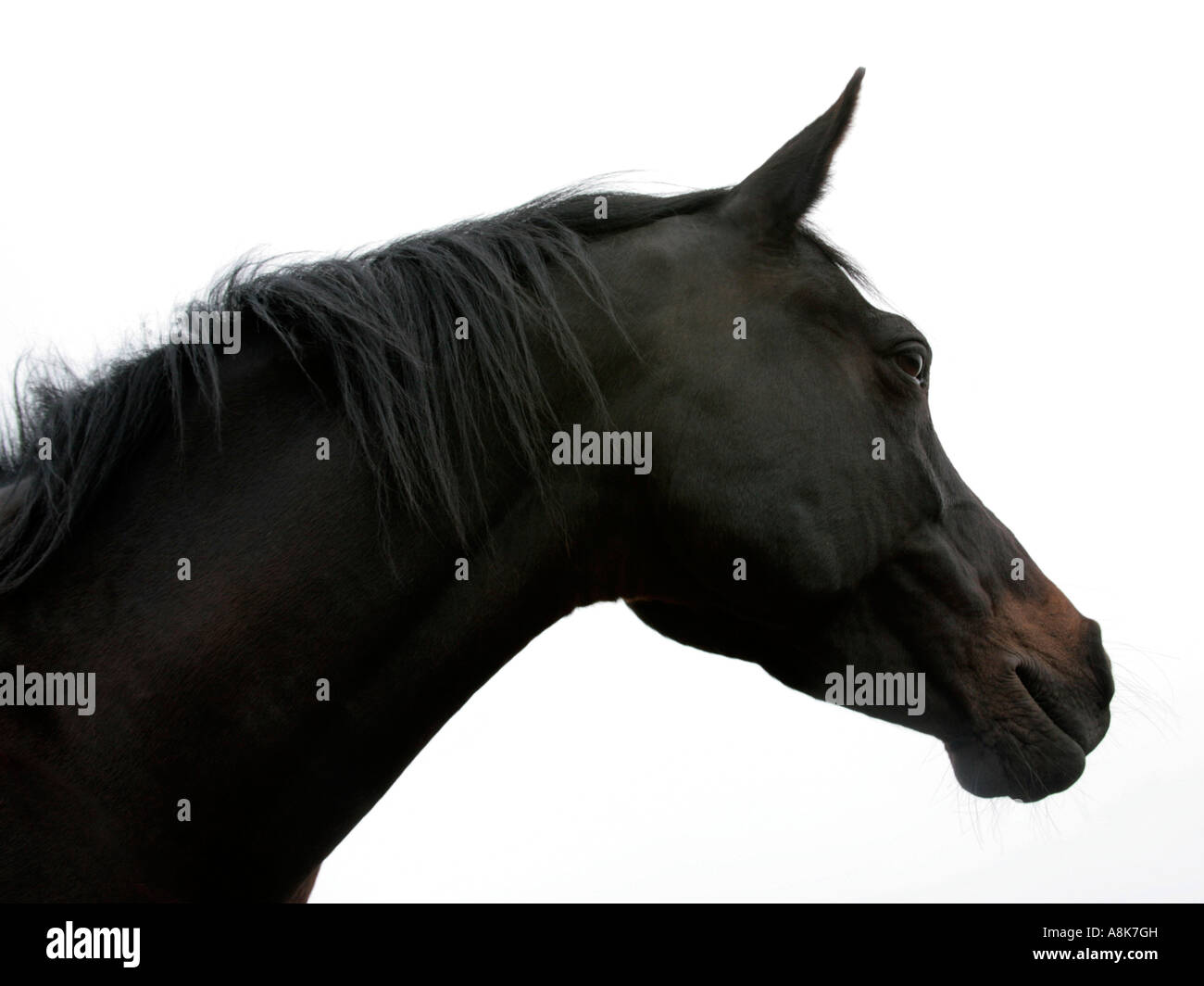 The Sideview Of The Head Of A Black Horse Stock Photo Alamy