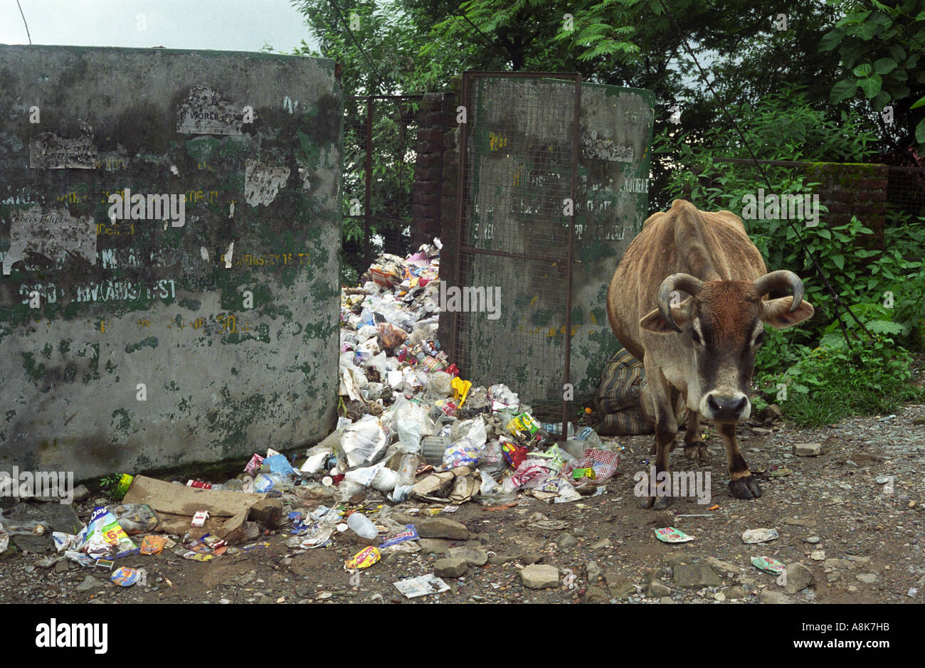 A sacred cow stands near the local garbage dump in Dharamsala, India. - Stock Image