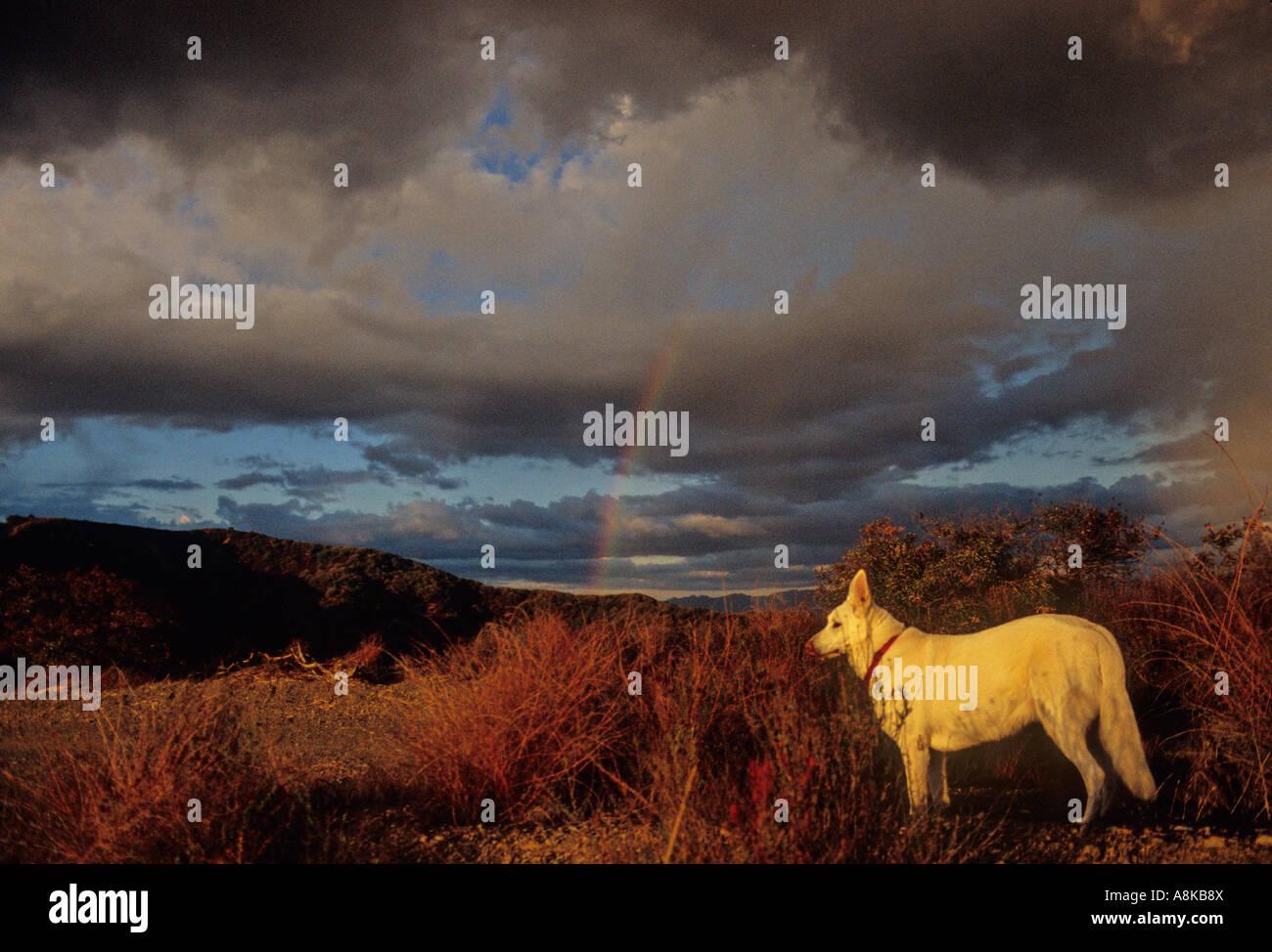 White German Shepherd on stormy day Stock Photo