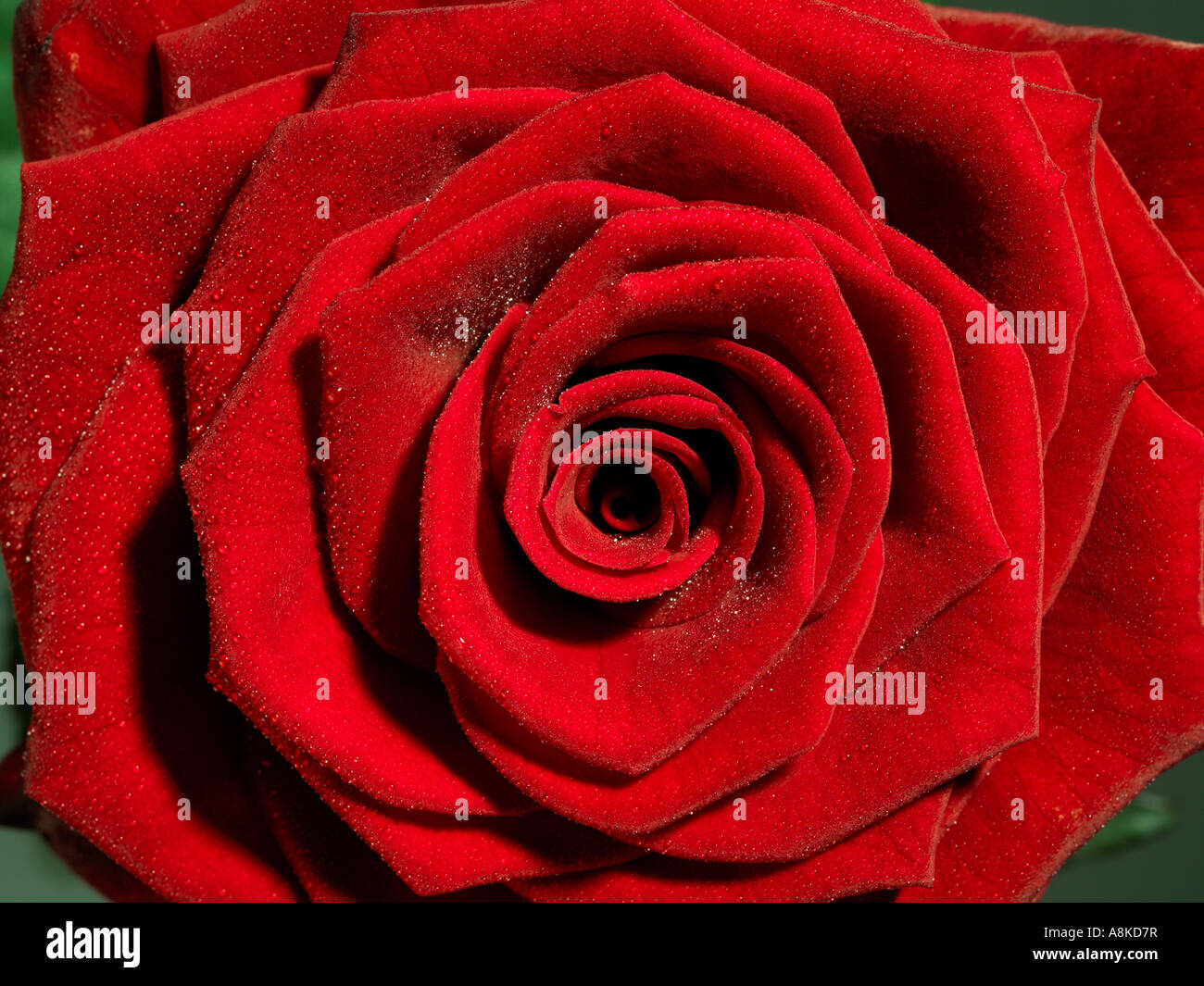 A red rose with droplets of dew close up - Stock Image