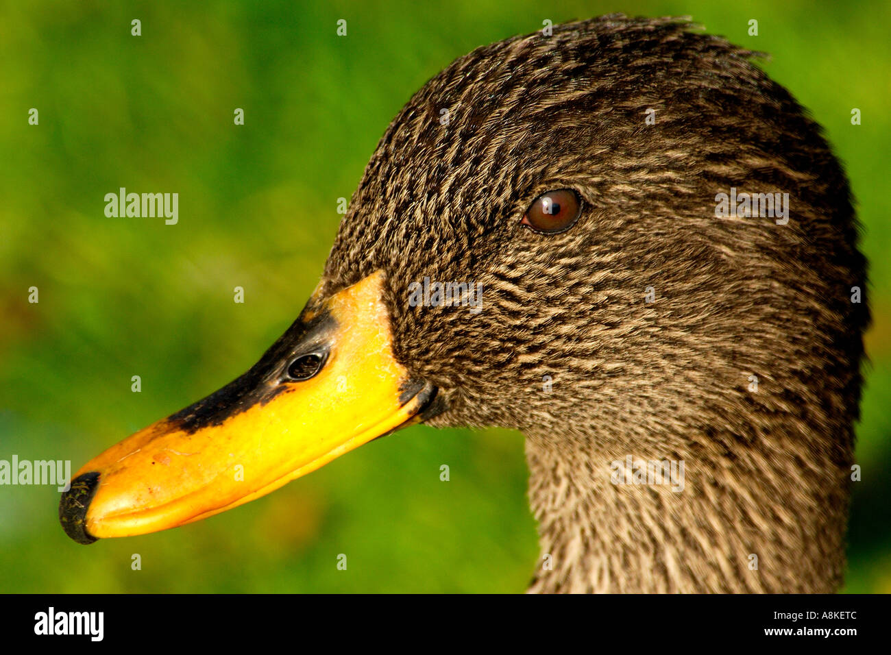 Nice clear close up head portrait of a light brown duck with bright ...