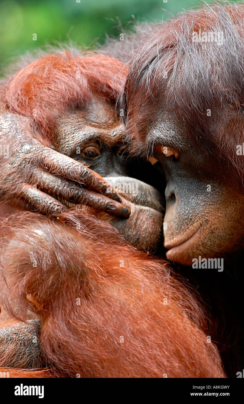 Two orangutan hugging - Stock Image