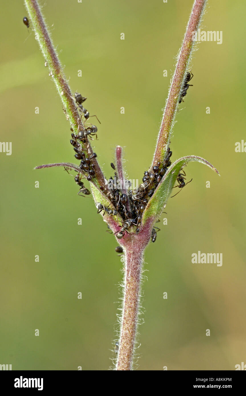 Ants breed aphids for feed - Stock Image