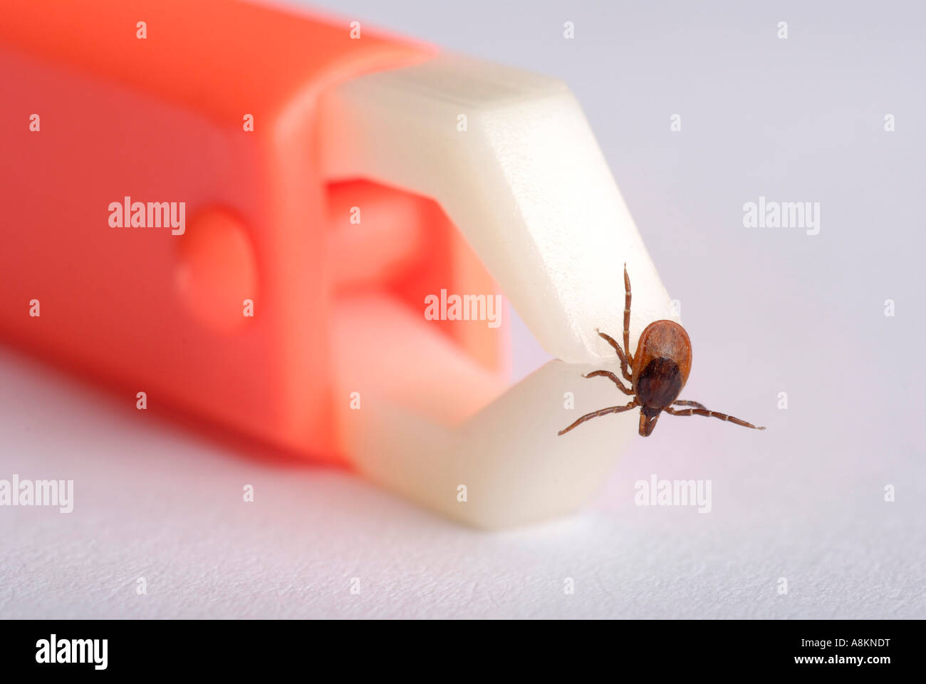 Tick (Ixodida) being removed with tick pincer - Stock Image