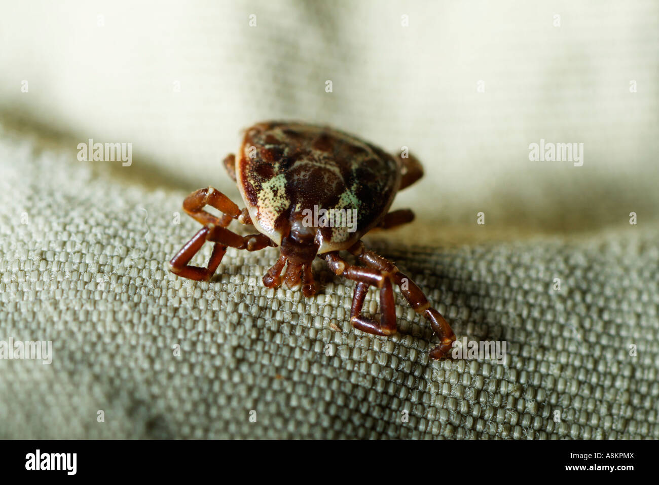 Tropical tick on wear, Costa Rica - Stock Image