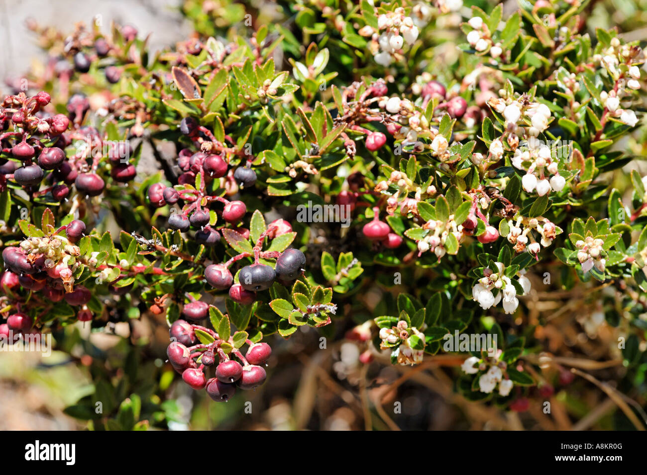Shrub with berries, vegetation in Irazu volcano National Park, Costa Rica - Stock Image