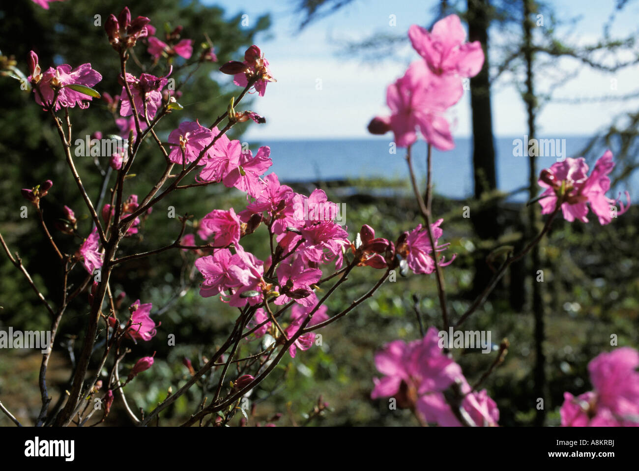 Rhododendron dauricum, Zabaikalsky Nationalpark, Ushkany Islands, Lake Baikal, Siberia, Russia - Stock Image