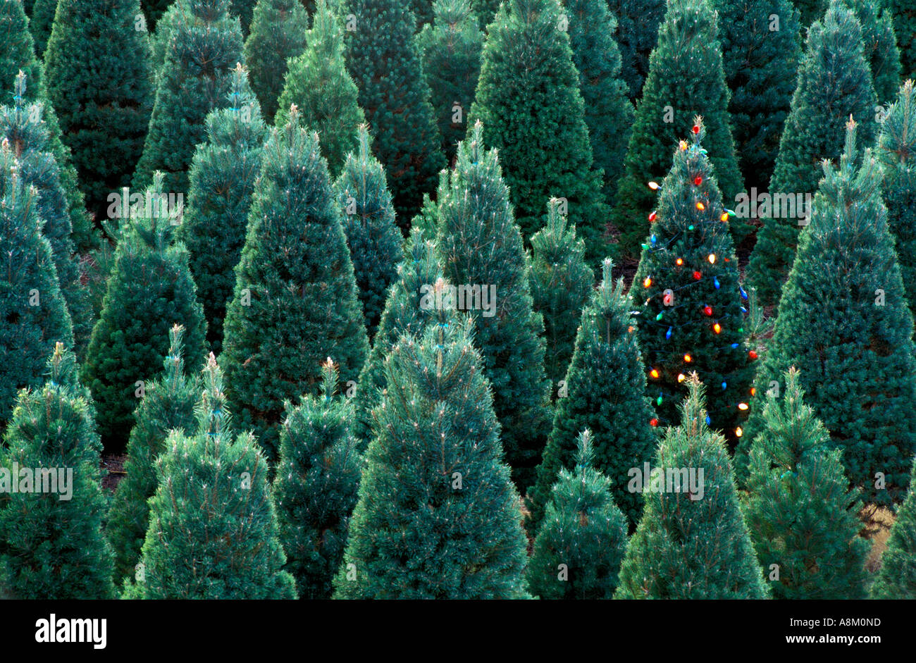 usa idaho christmas tree farm with one lighted christmas tree near boise stock image