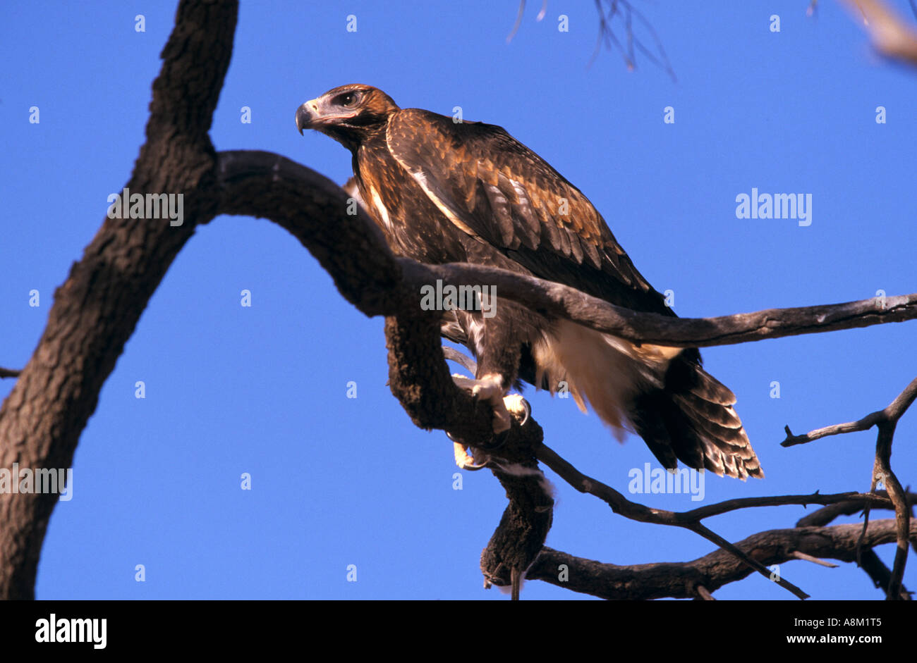 Immature wedgetail eagle Wooleen Station Murchison District Western Australia Australia horizontal Aquila audax Stock Photo
