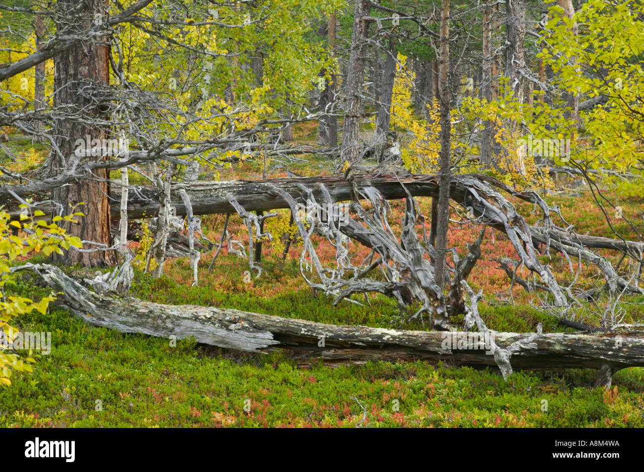 Old growth forest in Stora Sjöfallet National Park; Laponia World Heritage Area, Lapland, Sweden. Stock Photo