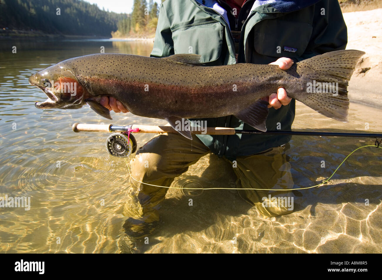 USA IDAHO Fisherman releasing large Steelhead Rainbow Trout on the Clearwater river - Stock Image