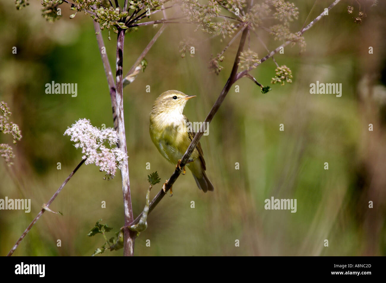 Willow Warbler Tittesworth Resevoir England - Stock Image