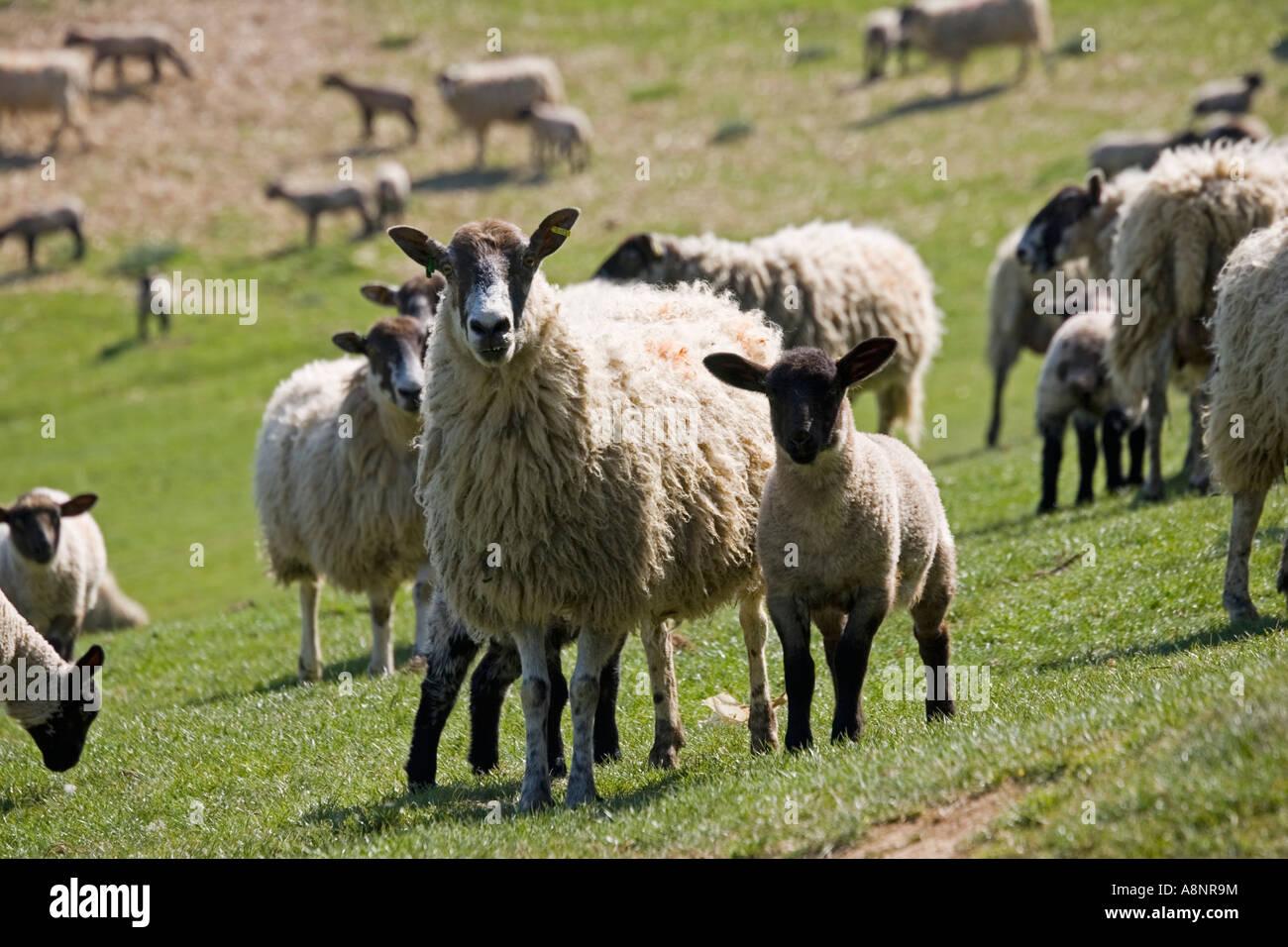 Masham ewe sheep with lambs on fresh pasture Cotswolds UK - Stock Image