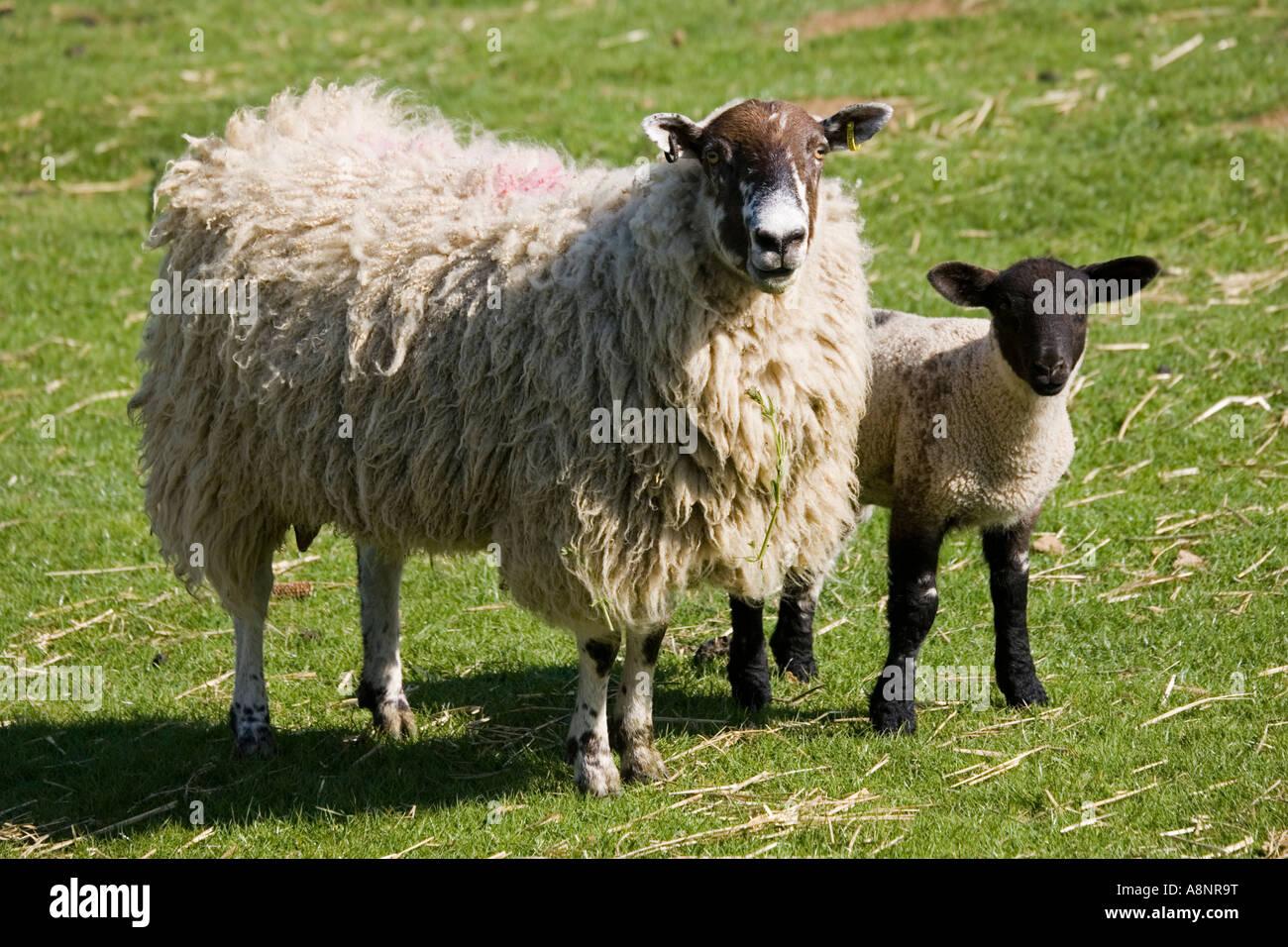 Masham ewe sheep with lamb on fresh pasture Cotswolds UK - Stock Image