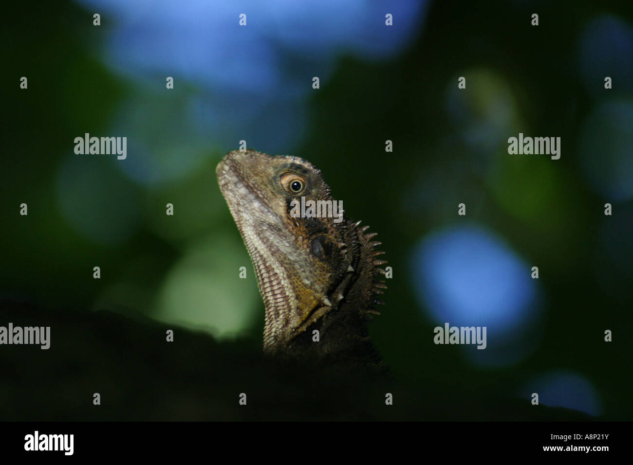 The Australian Water Dragon - Stock Image
