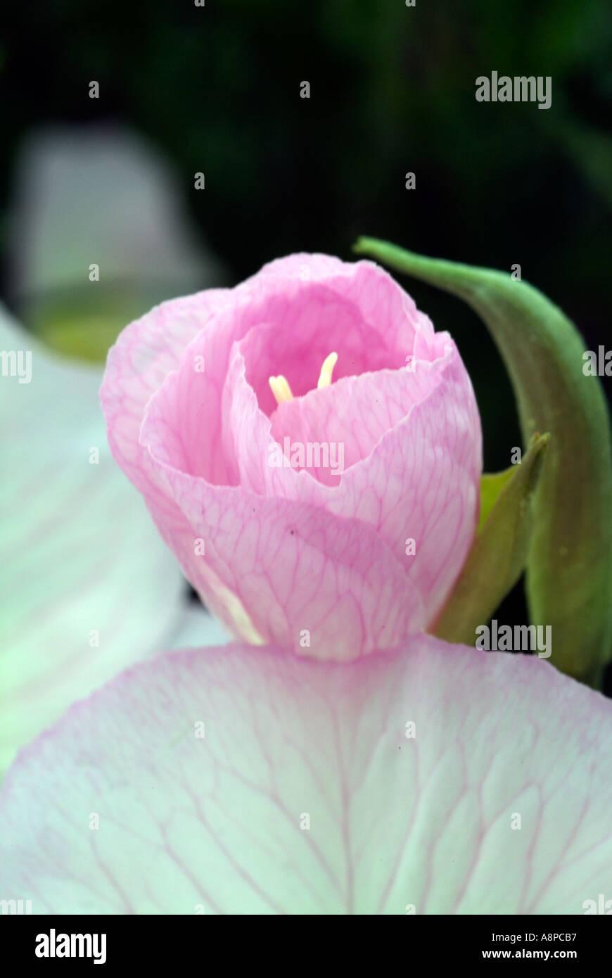 Pink primrose flowers blooming in texas stock photo 2256054 alamy pink primrose flowers blooming in texas mightylinksfo