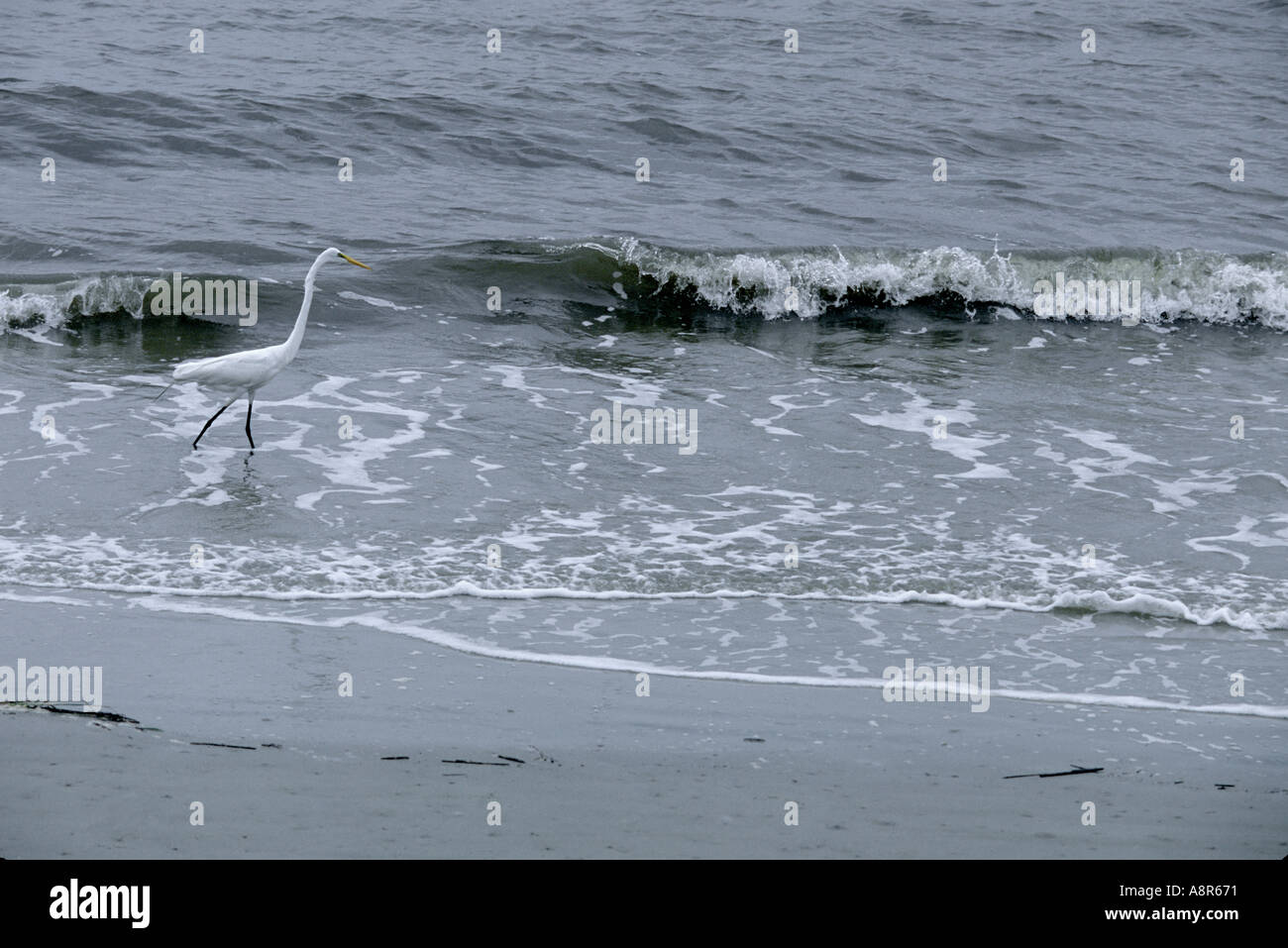 An egret walks on a beach of St Simon georgia in the early morning - Stock Image