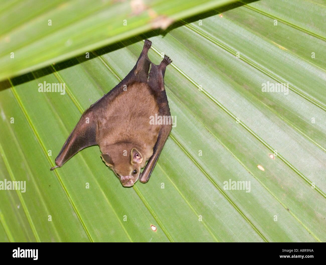 Tent making Bat sp Panama Stock Photo