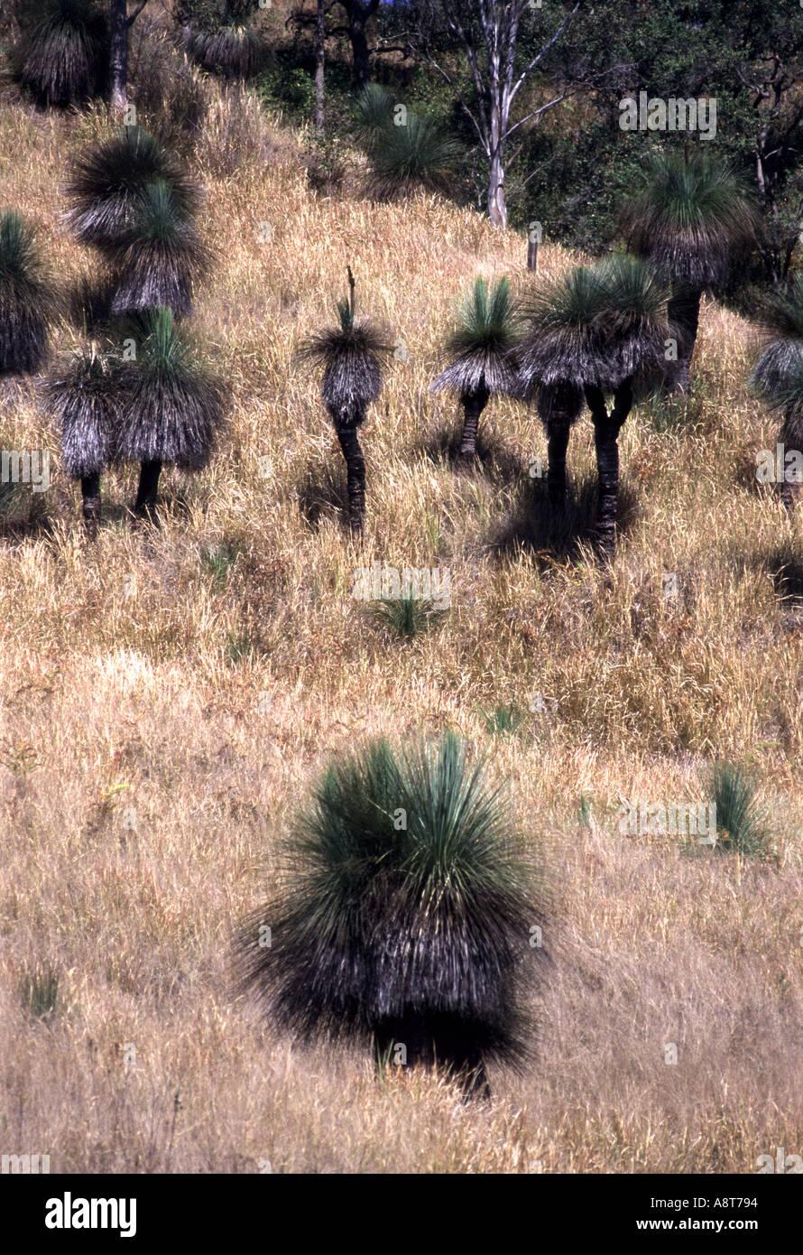 australian blackboy plants out in the bush - Stock Image