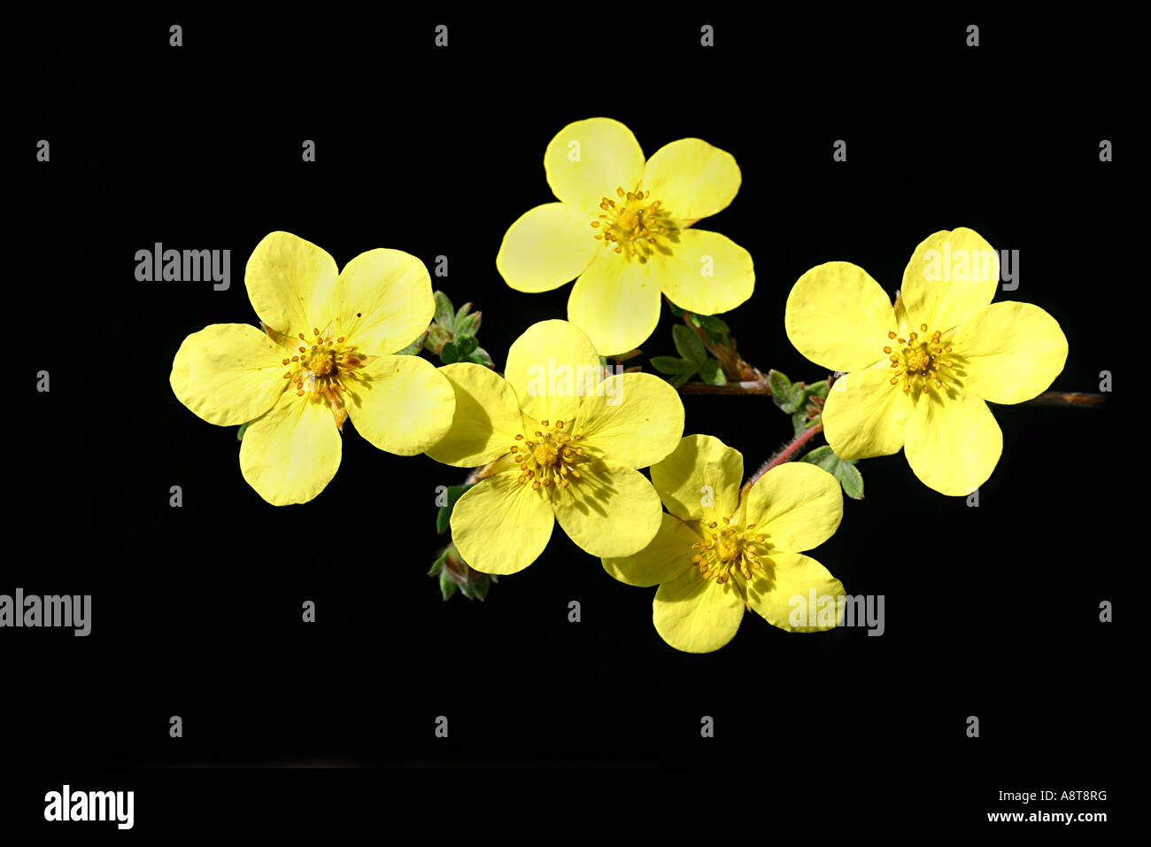 Yellow petals 5 stock photos yellow petals 5 stock images alamy five 5 yellow shrubby potentilla wildflowers 78 inch rose family mightylinksfo