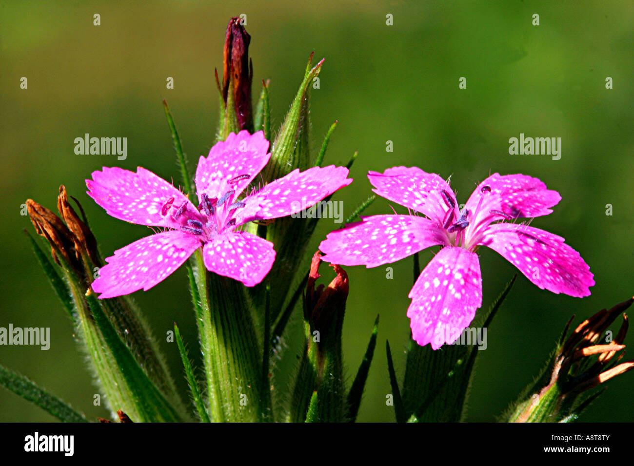 Pink grass wildflower dianthus armeria flower wild wilderness 5 pink grass wildflower dianthus armeria flower wild wilderness 5 petal mightylinksfo