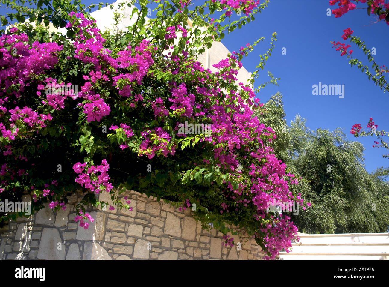 Bougainvillea Almyros Aghios Ayios Nikolaos Ag Nik Eastern Crete Greece Europe Stock Photo